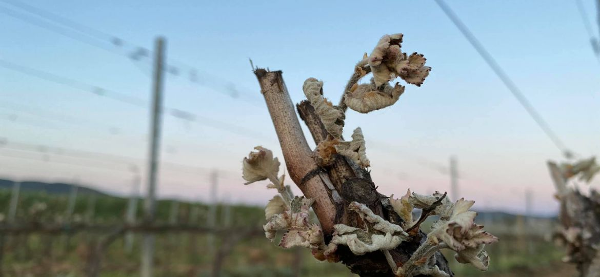 frost damage in tuscany